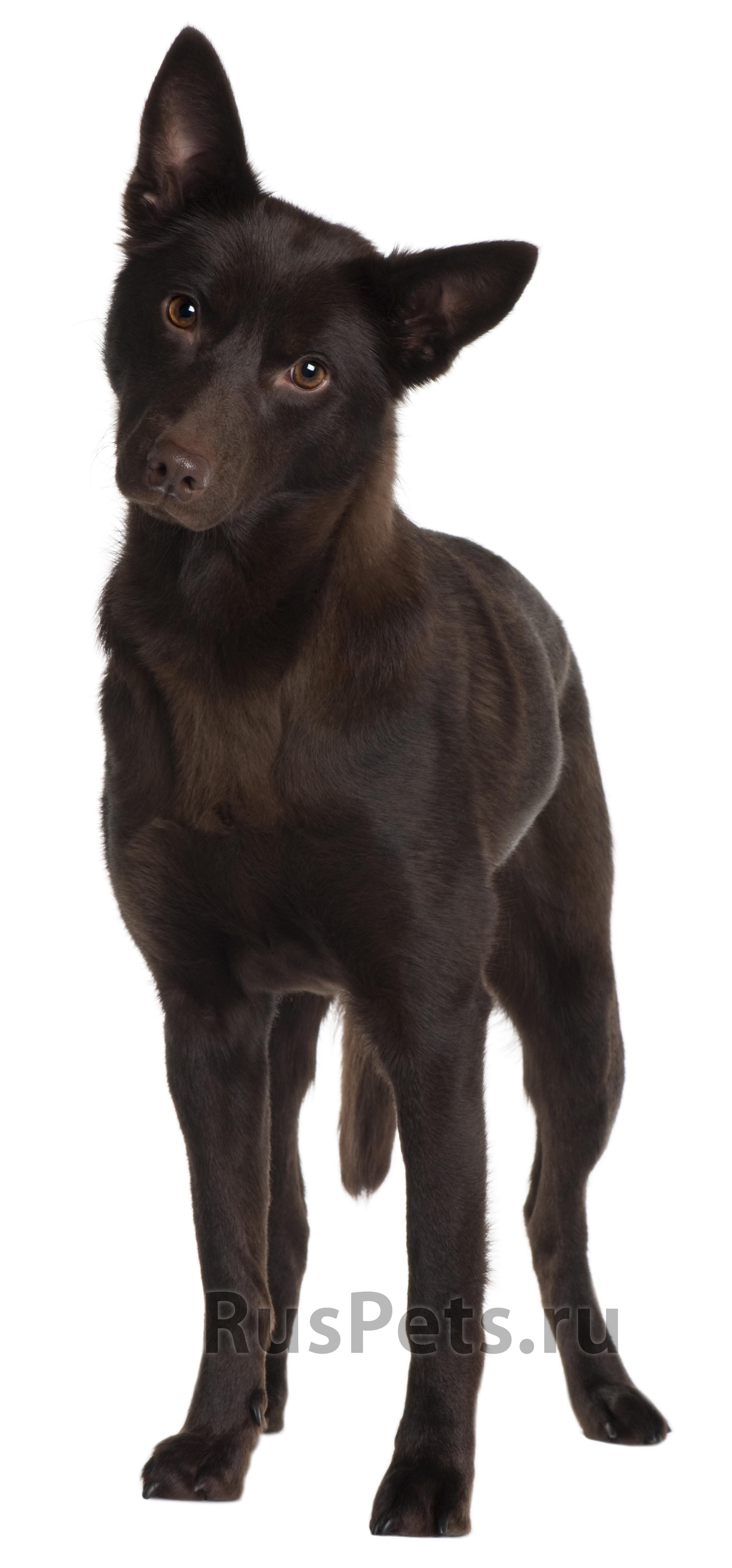 Келпи собака