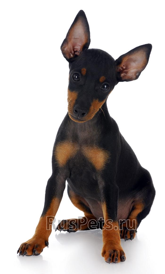 Хохлатая собачка ручные собачки фото